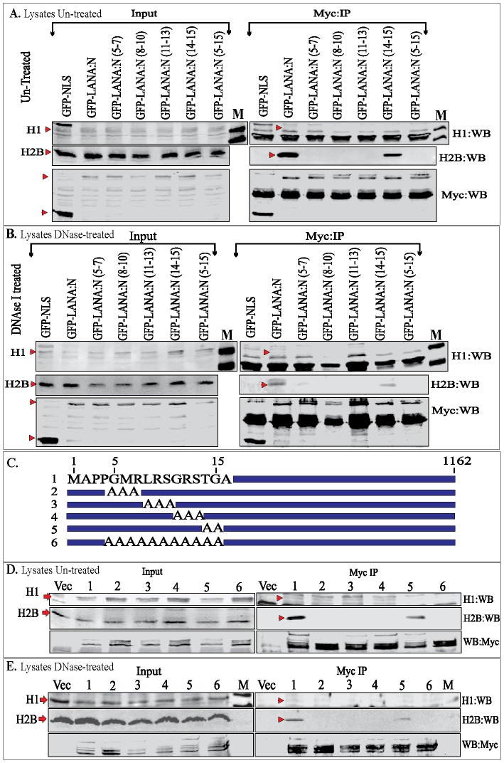 Immunoprecipitation of endogenous histones with LANA-N and LANA-FL. A. 293T cells were transfected with GFP-NLS-myc (control) or GFP-LANA-N (1–340 aa)-myc or its alanine substitution mutants (5–7 aa to alanine) and other respective mutants. Lysates were subjected to anti-myc IP without any treatment and immunoprecipitating GFP fusion proteins were detected with anti-myc antibody (Myc:WB panel, red triangle). Endogenous levels of histones were detected using anti-histone H1 (H1:WB) and anti-H2B (H2B:WB) antibodies (indicated red triangle). IgG light chain was detected in H1:WB panel in all the lanes. B. Lysate from 293T cells transfected with GFP-NLS-myc (control) or GFP-LANA-N and its alanine mutants were treated with 45 ug DNase I for 45 min before immunoprecipitation with anti-myc antibody. Histone H1 and H2B were detected with specific antibodies (red triangle). IgG light chain was detected in H1:WB panel in all the lanes. C. Schematic of LANA-FL with marked CBD (5–15 aa). Mutants 2–6 were alanine substitution mutants of CBD. D. 293 T cells were transfected with myc vector (lane Vec) or myc tagged LANA-FL (lane 1) and its alanine substitution mutants (lanes 2–6). Cell lysate from the transfected cells were subjected for immunoprecipitation with anti-myc antibody followed detection of LANA and its mutants in anti-myc WB (WB:myc). Histone H1 and histone H2B were detected with specific antibodies (red triangle). E. Cells transfected with above plasmid were lysed and the lysates were treated with 45 ug of DNase I before immunoprecipitation with anti-myc antibody. Histone H1 and H2B were detected using specific antibodies (red triangle).