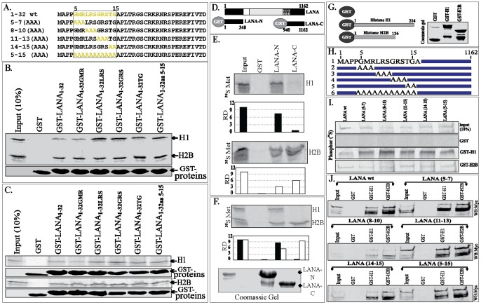 In-vitro binding of LANA with histones, H1 and H2B. A. Amino acid sequence of LANA 1–32 aa with CBD sequences in yellow. Alanine substitution mutants of CBD are shown in yellow. B. In-vitro translated histone H1 or H2B were incubated with GST (control) or GST-LANA1–32 and its alanine substitution mutants. Bound fraction of H1 and H2B were detected by 35S methionine label on H1 and H2B. Amounts of GST and LANA1–32 aa GST-fusion proteins used in the binding assay are shown in respective GST-protein panels. C. Histone H1 and H2B expressed in 293T cells were subjected for binding with GST (control), GST-LANA1–32 aa and CBD mutants. Bound histones were detected in a western blot with anti-HA antibody. GST proteins used in the binding assay are shown in GST-panels. D. LANA schematic showing the regions of LANA used as N-term (1–340 aa) and C-term (940–1162 aa). E. 35 S methionine labeled histone H1 and H2B were in-vitro translated for binding with GST (control), GST-LANA-N and GST-LANA-C fusion proteins. Relative densities (RD) of bound histone H1 (black bar) and H2B (white bar) with LANA-N and LANA-C were determined by comparing with respective inputs at 10%. F. In-vitro translated histone H1 and H2B were mixed before binding with GST fusion proteins. Relative binding of both the histones with LANA-N and C were determined by the densities of the bands in respective lanes. Commassie stained gel of GST-LANA-N and GST-LANA-C used in the assay. G . Schematic to show GST (control) and GST-H1 and GST-H2B fusion proteins. H . Schematic of LANA-FL with wt CBD (1) and its alanine mutants from 2–6. I. LANA and its alanine substitution mutants were in-vitro translated with 35 S methionine for binding with histone H1 and H2B. In-vitro translated products were subjected for binding with GST (control), GST-H1 and GST-H2B. The bound fractions were determined, which showed efficient binding of wt LANA as well as alanine mutants to histones, H1 and H2B. J. LANA with wt CBD and its alanin