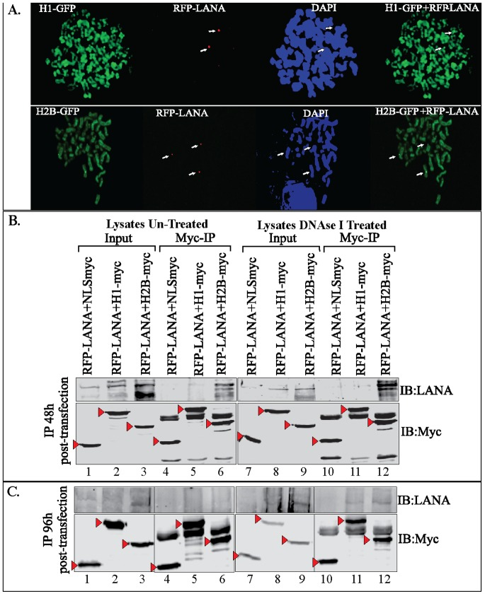 RFP-LANA associated with GFP-fused histone H1 and H2B. A. Chromosome spreads of 293T cells stably expressing GFP-H1 and GFP-H2B with RFP-LANA. GFP-H1 and GFP-H2B uniformly stained the entire chromosome and RFP-LANA showed distinct punctate localization on the chromosome detected by DAPI staining. B. 293T cells transfected with RFP-LANA and NLS-myc (lane 1), GFP-H1myc (lane 2) and GFP-H2Bmyc (lane 3) were harvested after 48 h post-transfection and lysed in RIPA buffer for immunoprecipitation with anti-myc antibody. Lysates from the above-mentioned transfection were treated with DNase I in second set before anti-myc immunoprecipitation. Bright band of RFP-LANA was detected in Myc-IP panels with GFP-H2Bmyc in untreated (lane 6) as well as DNase I treated panels (lane 12). GFP-NLS-myc, GFP-H1myc and GFP-H2Bmyc in the input and IP lanes were detected with anti-myc WB and are indicated with red triangle. C . 10% of the above-transfected cells were passaged and allowed to grow for 96 h before lysing them for anti-myc immunoprecipitation. Lysates were either untreated or DNase I treated before anti-myc immuneprecipitation. Co-precipitating RFP-LANA was detected using anti-LANA western blot (IB:LANA). GFP-NLS-myc, GFP-H1myc and GFP-H2Bmyc in the inputs and IP lanes were detected with anti-myc WB (IB:myc).