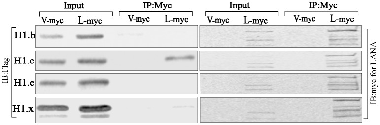 Histone H1 variants associated with LANA. H1 variants were cloned into a Flag epitope vector and transfected with a vector containing LANA-myc. Histone H2B-Flag was also transfected for comparison. Anti-myc IP to precipitate LANA co-precipitated H1.c as well as H1.x, the binding affinity of H1.c relatively stronger then H1.x. LANA in the input and IP lanes were detected in anti-myc blot.
