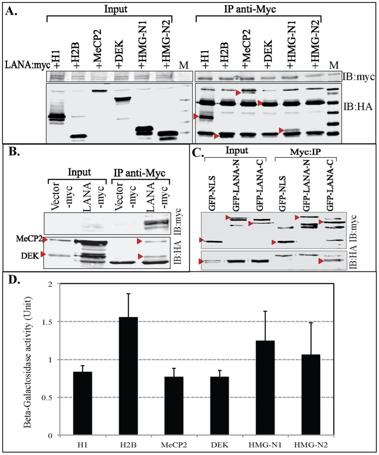 LANA associates with histones and non-histones nucleosomal proteins. A. HA tagged Histone H1, H2B, MeCP2, DEK, HMG-N1 and HMG-N2 were co-transfected with LANA-myc. LANA was precipitated with anti-myc antibody and co-precipitating proteins were detected with anti-HA blot (IB:HA). M is the marker lane. Co-immunoprecipitating proteins are indicated with red triangle. B. HA tagged MeCP2 and DEK together were transfected with myc vector or LANA-myc followed by anti-myc immunoprecipitation (IP). The complex were resolved to separate DEK from the heavy chain and immune detection with anti-HA confirmed binding of both MeCP2 and DEK to LANA. C. HA tagged MeCP2 was transfected with LANA-N or LANA-C (fused to GFP and myc) along with control GFP-NLS-myc followed by anti-myc immunoprecipitation. Detection of MeCP2 with anti-HA blot showed its binding with C-terms of LANA (IB:HA, red triangle). GFP-NLS-myc, GFP-LANA-N and GFP-LANA-C in the input and IP lanes are indicated by red triangle. D. Beta-galactosidase activity of LANA interacting proteins. Yeast 190 stable expressing LANA-N term fused to GAL4DBD was co-transformed with LANA interacting proteins (H1, H2B, MeCP2, DEK, HMG-N1 and HMG-N2) fused to ACT domain of GAL4. Induction of beta-galactosidase due to the interaction of LANA bait with prey was detected by ONPG assay. Relative activity normalized against LANA-N fused to GAL4DBD with vector GAL4ACT, are shown in the bar graph from three independent experiments with three independent clones. Standard error bars were calculated based on the data from three independent experiments. Luciferase fused GAL4ACT was used as a negative control, which showed no induction of beta-galactosidase activity.