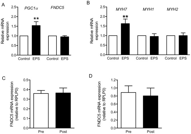 FNDC5 mRNA level is not contraction-regulated in skeletal muscle cells and is not increased by endurance or strength training in humans. (A) and (B) Primary human skeletal muscle cells were differentiated in αMEM containing 2% (vol./vol.) horse serum, followed by overnight starvation, and subjected to EPS for 24 h in serum-free medium (1 Hz, 2 ms, 11.5 V). Relative gene expression of PGC1α , FNDC5 (A), MYH1 , 2 , and 7 (B) was measured by quantitative real-time PCR (qRT-PCR). All expression data were normalized to actin; n = 5 (A), n = 10 (B); **p