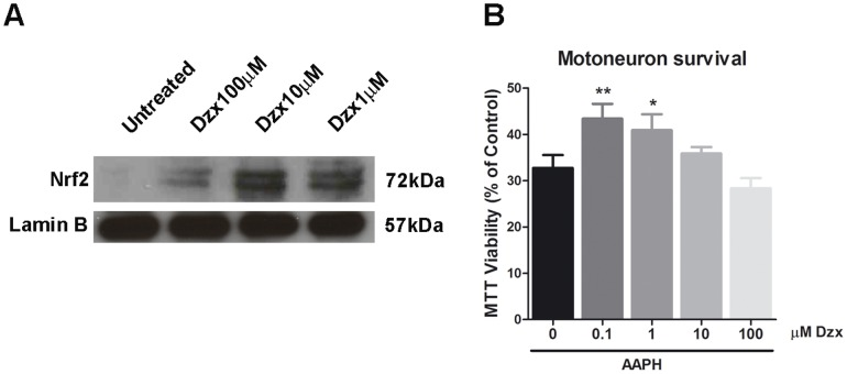Diazoxide increases Nrf2 nuclear translocation in NSC-34 motoneurons and prevents endogenous oxidative damage. Western blot showed an increase of Nrf2 signaling in the nuclear extracts from NSC-34 neurons treated with different doses of diazoxide for 24 h. The higher increase of Nrf2 was found at lower doses (10 and 1 µM) (A). Cell viability of NSC-34 cells was measured after 24 h AAPH oxidative stress activation and results demonstrated that diazoxide treatment effectively ameliorates cell viability at low doses (B). Results expressed as mean ± SEM. n≥4 experiments. *: p