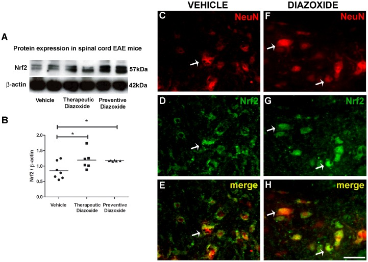 Oral diazoxide administration increases Nrf2 expression and neuronal nuclear translocation in spinal cord of EAE mice. Western blotting of spinal cord total protein showed an increase of Nrf2 immunostain in protein extracts from 0.8/Kg/day oral diazoxide treated EAE mice (either therapeutically and preventively) when compared to vehicle EAE mice (A). Upon quantification, results showed that this increase was significant (B). Double immunofluorescent staining for NeuN (red, C, F) and Nrf2 (green, D, G) of vehicle EAE and 0.8 mg/Kg/day oral diazoxide treated EAE mice showed better NeuN signal preservation (C vs F) and Nrf2 nuclear translocation (E, D vs G, H; white arrows) in the spinal cord ventral horn. n≥6 animal/group. *: p
