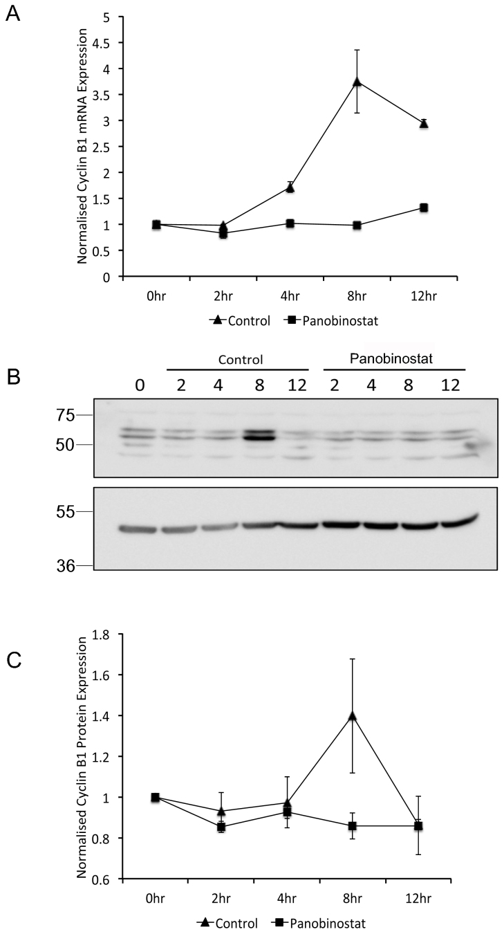 Reduction of G2-specific Cyclin B1 expression following panobinostat treatment. FaDu cells were synchronised by double thymidine block and released in medium containing 100 nM panobinostat or excipient control. Cells were harvested at the stated time points post release and RNA (A) and protein (B and C) harvested as described in the materials and methods. (A) Cyclin B1 mRNA expression was assessed by qRT-PCR. The data shown represent Cyclin B1 mRNA levels normalised to 0 hour time point and are shown as the mean and standard deviation of three independent experiments. (B) 60 μg protein from each extract was separated by SDS-PAGE on two separate gels that were run using identical conditions. Cyclin B1 (upper panel) and β-actin (lower panel) protein levels were assessed by Western blot. Full-length digital images of these western blots can be viewed in the supplementary information ( supplementary figure 5 ). (C) Cyclin B1 protein levels from three independent experiments were quantified using ImageGauge v4.21 software and normalised to β-actin levels from the same experiment. The data shown represent the mean and standard deviation.