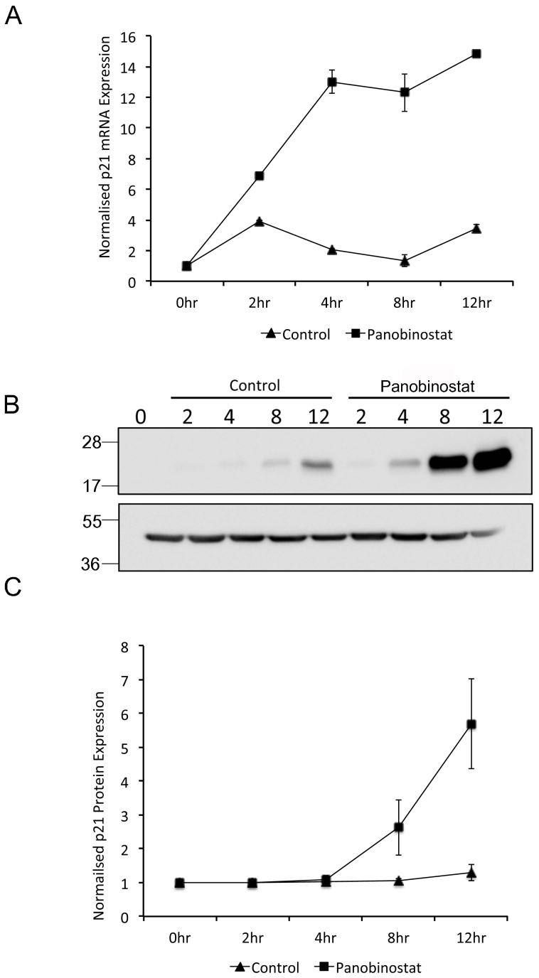 Panobinostat induced p21 Waf1/Cip1 expression. FaDu cells were synchronised by double thymidine block and released in medium containing 100 nM panobinostat or excipient control. Cells were harvested at the stated time points post release and RNA (A) and protein (B and C) harvested as described in the materials and methods. (A) p21 Waf1/Cip1 mRNA expression was assessed by qRT-PCR. The data shown represent p21 Waf1/Cip1 mRNA levels normalised to 0 hour time point and are shown as the mean and standard deviation of three independent experiments. (B) 60 μg protein from each extract was separated by SDS-PAGE on two separate gels runs using identical conditions and p21 Waf1/Cip1 (upper panel) and β-actin (lower panel) protein levels were assessed by Western blot. Full-length digital images of these western blots can be viewed in the supplementary information ( supplementary figure 5 ). (C) p21 Waf1/Cip1 protein levels from three independent experiments were quantified using ImageGauge v4.21 software and normalised to β-actin levels from the same experiment. The data shown represent the mean and standard deviation.