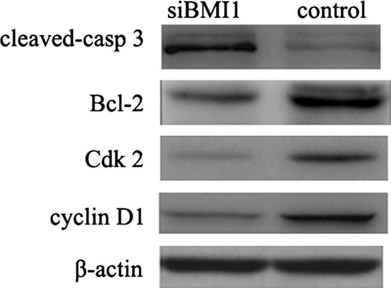 Effect of BMI1 knockdown on the expression of cell cycle and apoptosis related genes, measured by western blot. Cyclin D1, cdk2, BCL2 were decreased in BMI1 siRNA group cells than control cells, while apoptosis protein cleaved-caspase3 was increased