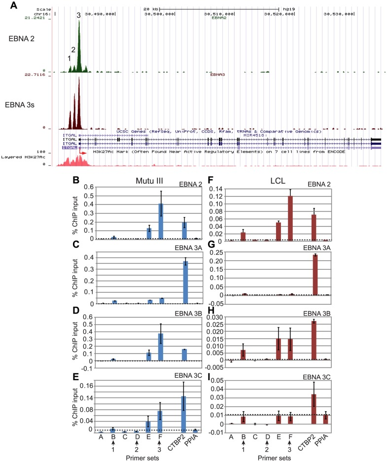 EBNA 2 and EBNA 3 protein binding at the ITGAL promoter in EBV-infected cells. (A) EBNA 2 (green) and EBNA 3 (red) sequencing reads from immunoprecipitated Mutu III DNA plotted as in Figure 3 . Panels B–E show ChIP-QPCR carried out in Mutu III cells and panels F–I show data from the PER253 B95.8 LCL. Precipitated DNA was analysed using primer sets located at the binding sites (sets B, D, and F) or regions adjacent to the binding sites (sets A, C, and E). Binding signals at the CTBP2 binding site in the same ChIP experiments are shown as a positive control and primers spanning the transcription start site of the cellular gene PPIA provide a background binding control (indicated by dotted lines). (B) and (F) ChIP using anti-EBNA 2 antibodies. (C) and (G) ChIP using anti-EBNA 3A antibodies. (D) and (H) ChIP using anti-EBNA 3B antibodies. (E) and (I) ChIP using anti-EBNA 3C antibodies. Percentage input signals, after subtraction of no antibody controls, are shown as the mean −/+ range of two independent ChIP experiments.