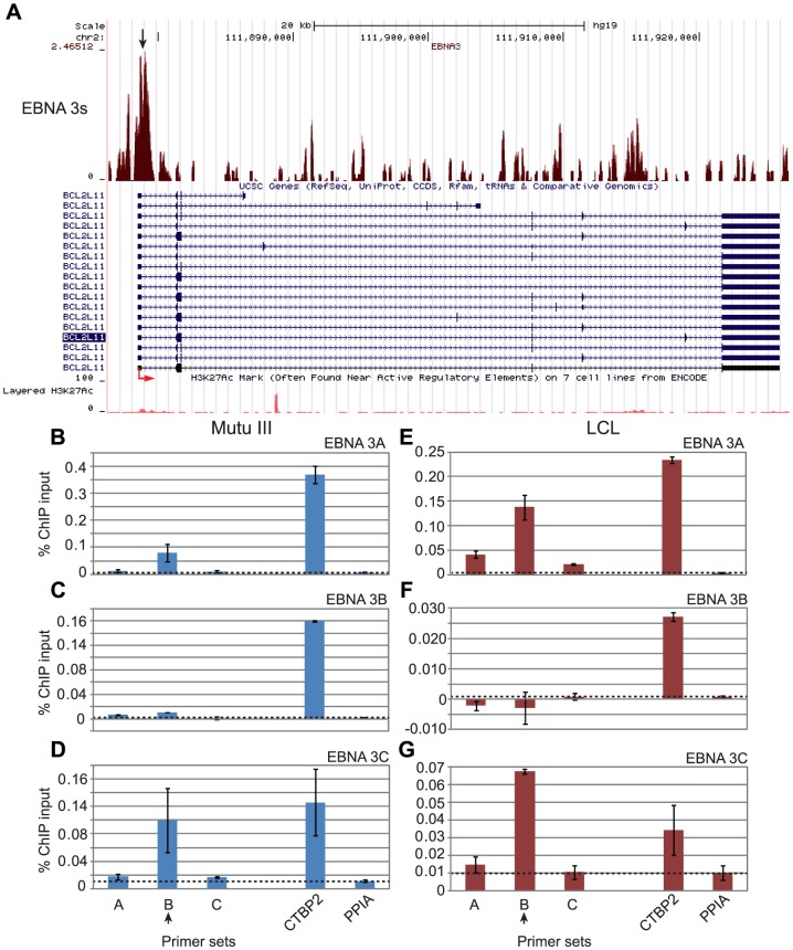 EBNA 3 protein binding at the BCL2L11 promoter in EBV-infected cells. (A) EBNA 3 sequencing reads from immunoprecipitated Mutu III DNA plotted as in Figure 3 . Panels B–D show ChIP-QPCR carried out in Mutu III cells and panels F–G show data from the PER253 B95.8 LCL. Precipitated DNA was analysed using primer sets located at the binding site (set B) or regions on either side of the binding site (sets A and C). Binding signals at the CTBP2 binding site in the same ChIP experiments are shown as a positive control and primers spanning the transcription start site of the cellular gene PPIA provide a background binding control (indicated by dotted lines). (B) and (E) ChIP using anti-EBNA 3A antibodies. (C) and (F) ChIP using anti-EBNA 3B antibodies. (D) and (G) ChIP using anti-EBNA 3C antibodies. Percentage input signals, after subtraction of no antibody controls, are shown as the mean −/+ range of two independent experiments.