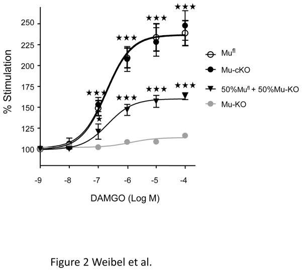 Mu <t>opioid</t> agonist-induced [ 35 S]-GTPγS binding is comparable on spinal cord membrane preparation from mu-cKO and mu fl mice. Spinal cord membranes were incubated in the absence or presence of the mu opioid agonist <t>DAMGO</t> (10 -9 -10 -4 M) in assay buffer containing [ 35 S] GTPγS. Basal level (100%) represents the specific [ 35 S]-GTPγS binding in the absence of agonist. DAMGO significantly increases [ 35 S]-GTPγS binding, in a comparable manner for mu-cKO and mu fl mice. [ 35 S]-GTPγS binding was absent on spinal cord membranes from mu-KO mice, and was decreased by half with a 50%-50% mix of membranes from mu fl and mu-KO animals, containing half mu receptors as compared to mu fl membranes, indicating that this assay allows to detect reduced receptor expression. Results are presented as means ± sem of 5-6 experiments on 5 distinct membrane preparations. ★★★ P