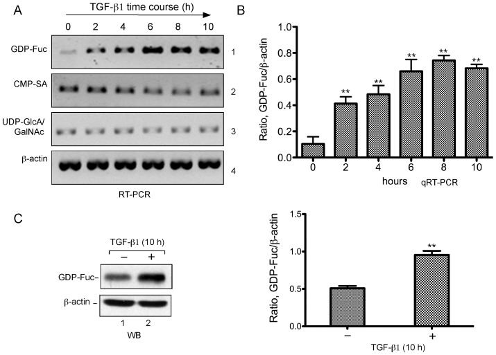TGF-β1 stimulates the GDP-fucose transporter expression. HeLa cells were serum-starved, then cultured in presence of human recombinant TGF-β1 and harvested over the time course during TGF-β1 induction. A . RT-PCR analyses of NST expression. Total RNA was isolated from the cells treated with TGF-β1 at the indicated times (top) and reverse transcribed. RT-PCR was carried with the primers specific to the GDP-fucose (GDP-Fuc), CMP-sialic acid (CMP-SA) and UDP-GlcA/GalNAc transporters as well as β-actin (panels 1–4, respectively). PCR products were analyzed on a 1% agarose gel. B . qRT-PCR analyses of NST expression. Experiment with the similar time course upon TGF-β1 induction was performed but with three replicates (see Materials and Methods for details). Total RNA and cDNA were obtained as in A. qRT-PCR was carried out with the primers for GDP-Fuc and β-actin. Error bars represent standard deviation from three replicates. P values were obtained with t-test as compared with time 0. **, P