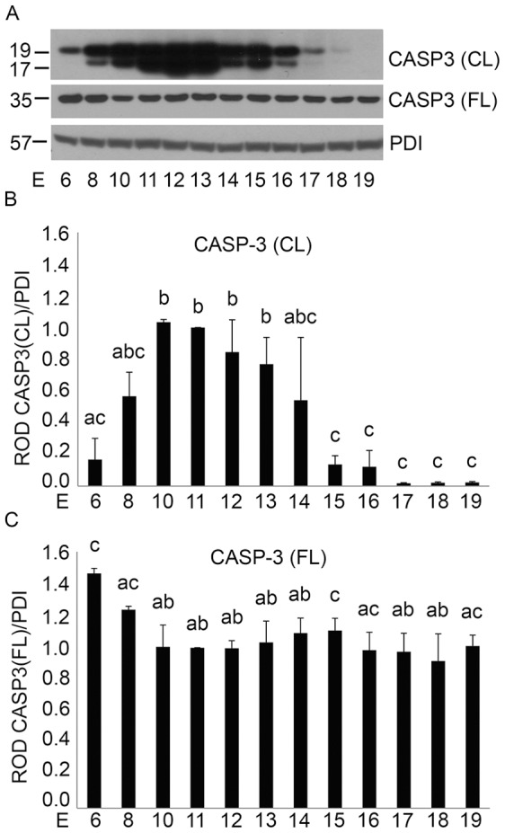 Gestational profile of uterine CASP3 activation in the pregnant mouse uterus from E6–E19. A) Representative western blot of a gestational series of mouse uteri immunoblotted for cleaved (CL) and full length (FL) CASP3 protein (n = 3 for each time point). Relative optical density (ROD) of B) cleaved and C) full length CASP3 normalized to the loading control, PDI. Data are represented as Mean ROD ± SE. N = 3 for each time point. Data labeled with different letters are significantly different from each other (P