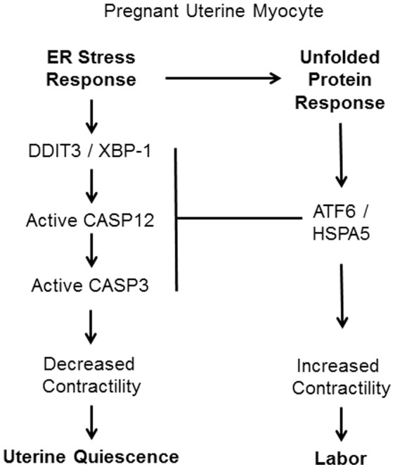 A model representing the potential role of ERSR and the UPR in the gestational regulation of uterine CASP3 activation and inhibition.