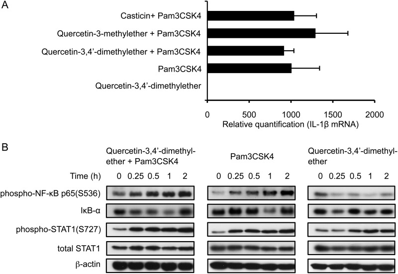 Methylated flavonols do not affect steady state levels of IL-1β mRNA and associated transcriptional regulators within the first 2 h of stimulation of THP-1 cells. A , real-time qPCR analysis of steady-state IL-1β mRNA levels in cells stimulated with Pam3CSK4 alone or costimulated with 10 μ m methylated flavonol for 2 h. B , time course analyses of phospho-NF-κB p65(S536), IκB-α, phospho-STAT1 (S727), and total STAT1 in stimulated cells. Target proteins were detected on Western blots using specific Ab. β-Actin was used as the loading control.