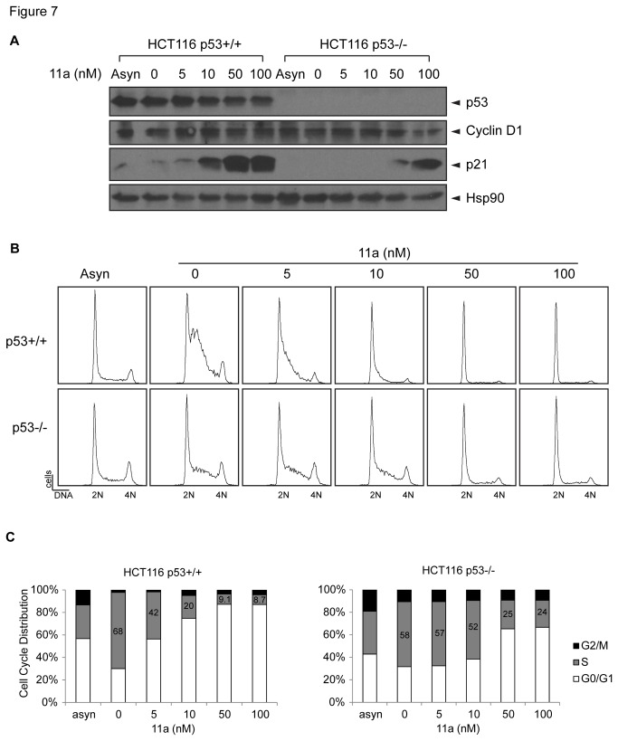 11a induces G 1 /S phase cell cycle arrest in a dose dependent manner in HCT116 isogenic cell lines. (A) Western blot against p53, Cyclin D1, p21 and Hsp90 as the loading control. (B) Histograms of the DNA FACS analysis of the cultures from panel A. (C) Quantification of the FACS analysis and cell cycle distribution of the two cell lines treated with 0, 5, 10, 50, or 100 nM 11a in 0.1% DMSO for 12 hours.