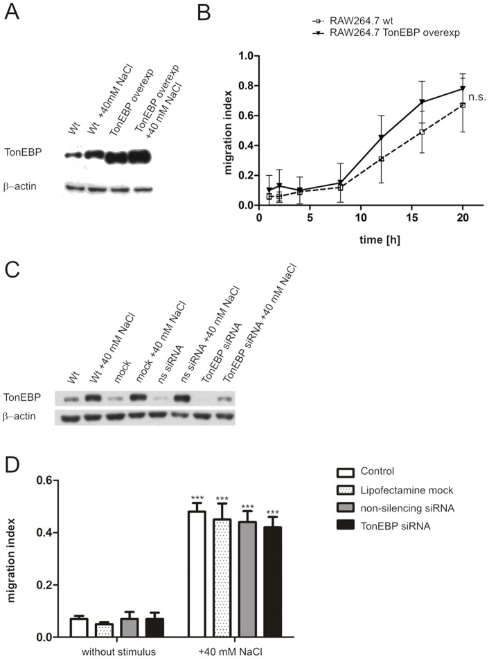 "TonEBP is not involved in salt-dependent chemotaxis of macrophages. Western blot analysis of TonEBP protein expression with or without excess 40(wt) and TonEBP overexpressing (TonEBP overexp) RAW264.7 cells, respectively (A). Kinetics of cell migration of TonEBP overexpressing and wildtype RAW264.7 macrophages toward 40 mM excess NaCl over 20 hours using transwell migration assays (B). Western blot analysis of TonEBP expression in RAW264.7 cells following RNAi of TonEBP using lipofection for 72 hours; mock, lipofection without siRNA; ns siRNA, nonspecific control siRNA (C). Transwell migration assay of RAW264.7 cells following RNAi of TonEBP toward 40 mM excess NaCl (D). For all western blot analysis (A, C), β-actin protein expression was used as a loading control. The migration index (B, D) was determined by the number of transmigrated cells in relation to CXCL12-stimulated cells. ""+""indicates that the stimulus was added to the lower well of the transwell (D). All cell migration data shown represent mean ± SD from 3 experiments performed in duplicate. ***p"