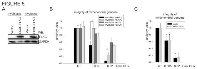 Ectopic expression of EXOG increases resistance to oxidant-induced DNA damage in myoblasts. ( A ) The expression level of <t>EXOG-FLAG-tagged</t> was monitored by Western analysis with <t>FLAG-HRP</t> conjugated antibody. ( B ) The integrity of the mitochondrial genome in myoblasts and myotubes transfected with vector or EXOG expression plasmid after 1 h of treatment with two different concentrations of GOx. The integrity in UT control (empty vector transfected) myoblasts and myotubes was set as 1. ( C ) The integrity of the mitochondrial genome of the myoblasts transfected with vector or mitochondrial specific OGG1 expression plasmid after 1 h of treatment with two different concentrations of GOx. The integrity of the genome was monitored by amplification of the 10kb mitochondrial genome-specific DNA fragment and normalized by mitochondrial genome copy number. The graphs are based on PCR reaction of three independently isolated DNA for each experimental point and shown as mean ± standard error (s.e.m.). Myotubes at day 4 of differentiation were used. * indicates p ≤ 0.05. UT, untreated control.