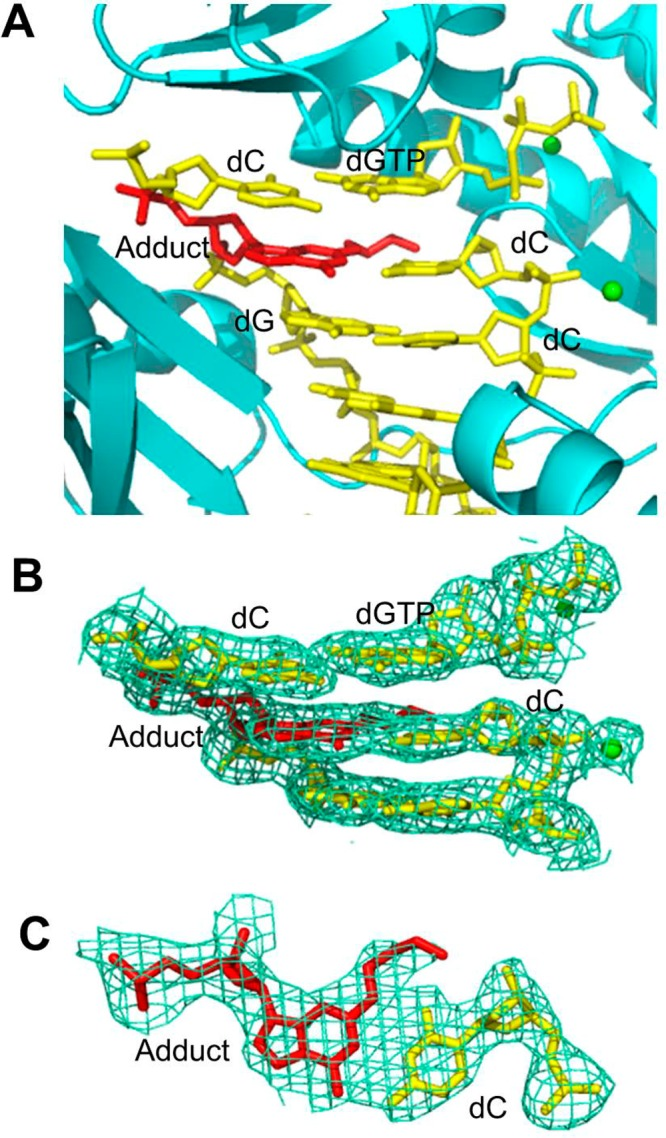 Structure of the ternary Dpo4·DNA·dGTP complex 1 . (A) Active site of Dpo4 (cartoon form, cyan) containing a primer–template junction (yellow) with the ring-opened N 2 -(3-oxopropyl)-dG or N 2 -(3,3-dihydroxypropyl)-dG adduct (red) opposite the 3′-terminal dC, incoming dGTP (yellow), and Ca 2+ ions (green dot). (B) Electron density at the active site. (C) Top view of the Watson–Crick base pair between the adduct and the 3′-terminal dC. All electron densities are from (2 F o – F c ) maps at the 1σ level.