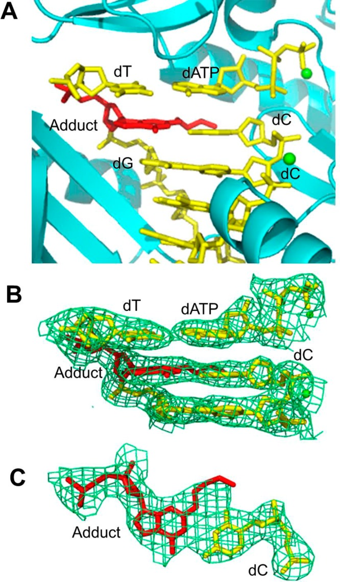 Structure of the ternary <t>Dpo4·DNA·dATP</t> complex 2 . (A) Active site of Dpo4 (cartoon form, cyan) containing a primer/template junction (yellow) with the ring-opened N 2 -(3-oxopropyl)-dG or N 2 -(3,3-dihydroxypropyl)-dG adduct (red) opposite the 3′-terminal dC, incoming dATP (yellow), and Ca 2+ ions (green dot). (B) Electron density at the active site. (C) Top view of the Watson–Crick base pair between the adduct and the 3′-terminal dC. All electron densities are from (2 F o – F c ) maps at the 1σ level.