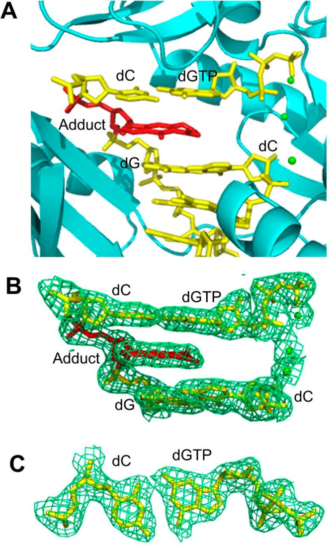 Structure of the ternary Dpo4·DNA·dGTP complex 3 . (A) Active site of Dpo4 (cartoon form, cyan) containing a primer–template junction (yellow) with the ring-closed γ-OH-PdG adduct (red), incoming dGTP (yellow), and Ca 2+ ions (green dot). (B) Electron density at the active site. (C) Top view of the Watson–Crick base pair between incoming dGTP and the 5′-neighboring template dC. All electron densities are from (2 F o – F c ) maps at the 1σ level.