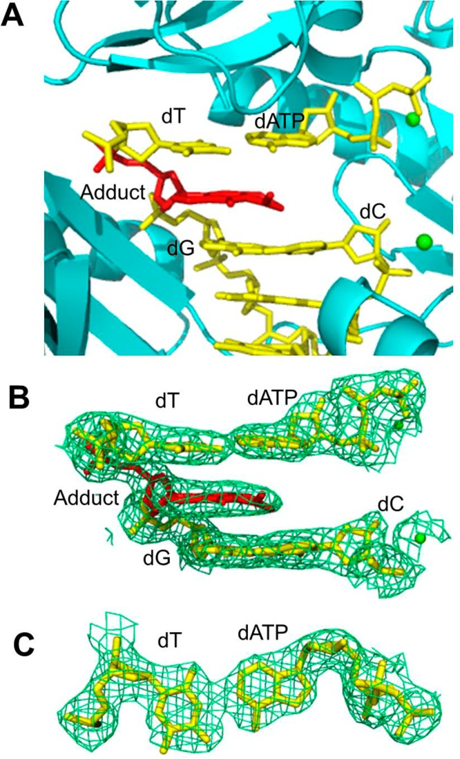 Structure of the ternary Dpo4·DNA·dATP complex 4 . (A) Active site of Dpo4 (cartoon form, cyan) containing a primer–template junction (yellow) with the ring closed γ-OH-PdG adduct (red), incoming dATP (yellow), and Ca 2+ ions (green dot). (B) Electron density at the active site. (C) Top view of the Watson–Crick base pair between incoming dATP and the 5′-neighboring template dT. All electron densities are from (2 F o – F c ) maps at the 1σ level.
