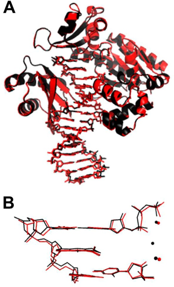 Superimposed structures of the ternary Dpo4·DNA·dNTP complexes 3 and 4 . Overall conformations (A) and modified DNA conformations and positions of Ca 2+ ions (B) at the active site. Complexes 3 and 4 are colored in black and red, respectively. (RMSD = 0.309 Å).