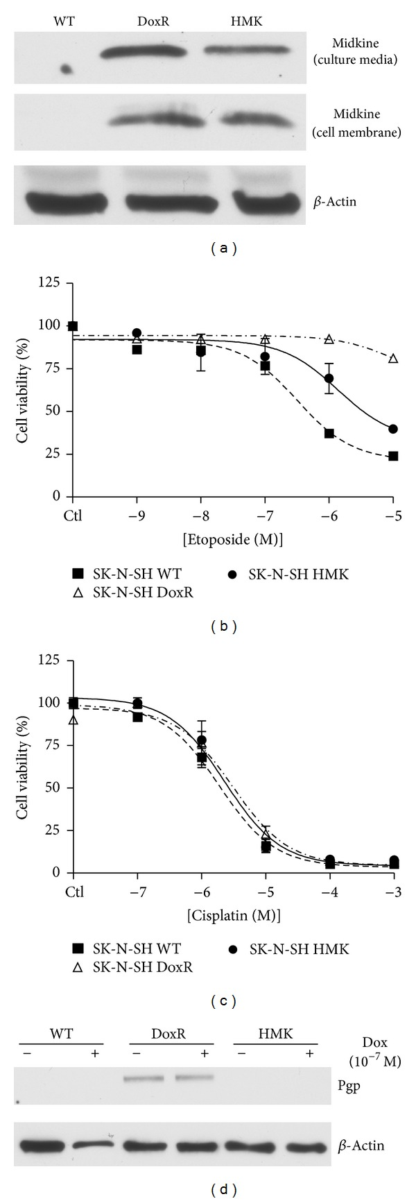 Effect of midkine overexpression on wild type cell survival. A midkine overexpressing SK-N-SH cell line (SK-N-SH HMK) was created as previously described [ 6 ]. (a) Midkine expression in the medium of wild type (WT), doxorubicin resistant (DoxR), and HMK cells were analyzed using western blot. SK-N-SH WT, DoxR, and HMK were cultured in 25 cm flasks to 80% confluence. Medium was then exchanged for 2 mL of low fetal bovine serum culture medium and cultured for an additional 48 hours. Cultured medium was then collected and frozen at −80°C prior to being subjected to western blot. The volume of medium loaded on the gel was normalized based on cell count in the flask prior to medium collection. Cell membranes were isolated through a well-established protocol. We have previously demonstrated that midkine transfected cells (HMK) have acquired some doxorubicin resistance [ 6 ]. The MTT cell survival assay was performed to determine if SK-H-SH HMK cells have acquired resistance to other chemotherapeutic drugs including (b) etoposide and (c) cisplatin. (d) SK-N-SH WT, DoxR, and HMK cells were treated with or without doxorubicin at 10 −7 M for 24 hours prior to collection of cell lysates. Proteins were extracted and probed using western blot for Pgp and β -actin.