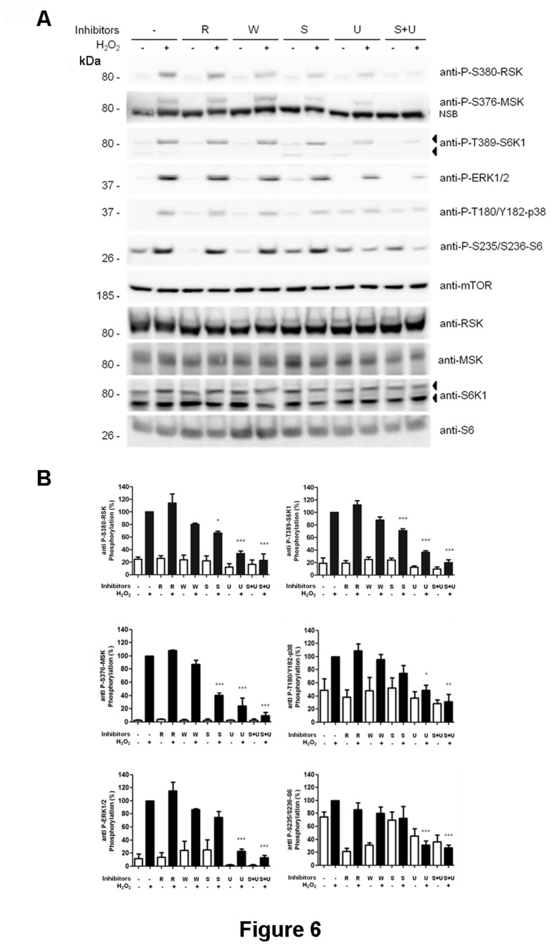 Phosphorylation of p85, RSK and MSK proteins was sensitive to inhibitors of the MAPK signaling pathways. (A) MCF7 cells were treated with 0.4 mM H 2 O 2 for 30 min. Where indicated, cells were pre-incubated with 5 µM SB203580 (S), 5 µM U0126 (U), 100 nM wortmannin (W) or 20 nM rapamycin (R) for 60 min before treatment with H 2 O 2 . Cell lysates were analyzed by Western blot with the indicated antibodies. NSB means non-specific band recognized by the antibody. Molecular weight markers are indicated on the left. (B) Histograms represent the phosphorylation ratio of the indicated proteins. All bands were standardized with respect to mTOR levels. Values are the means ± SEM of the percentage of respective control for at least three independent experiments. Asterisks indicate values that are significantly different (*, p