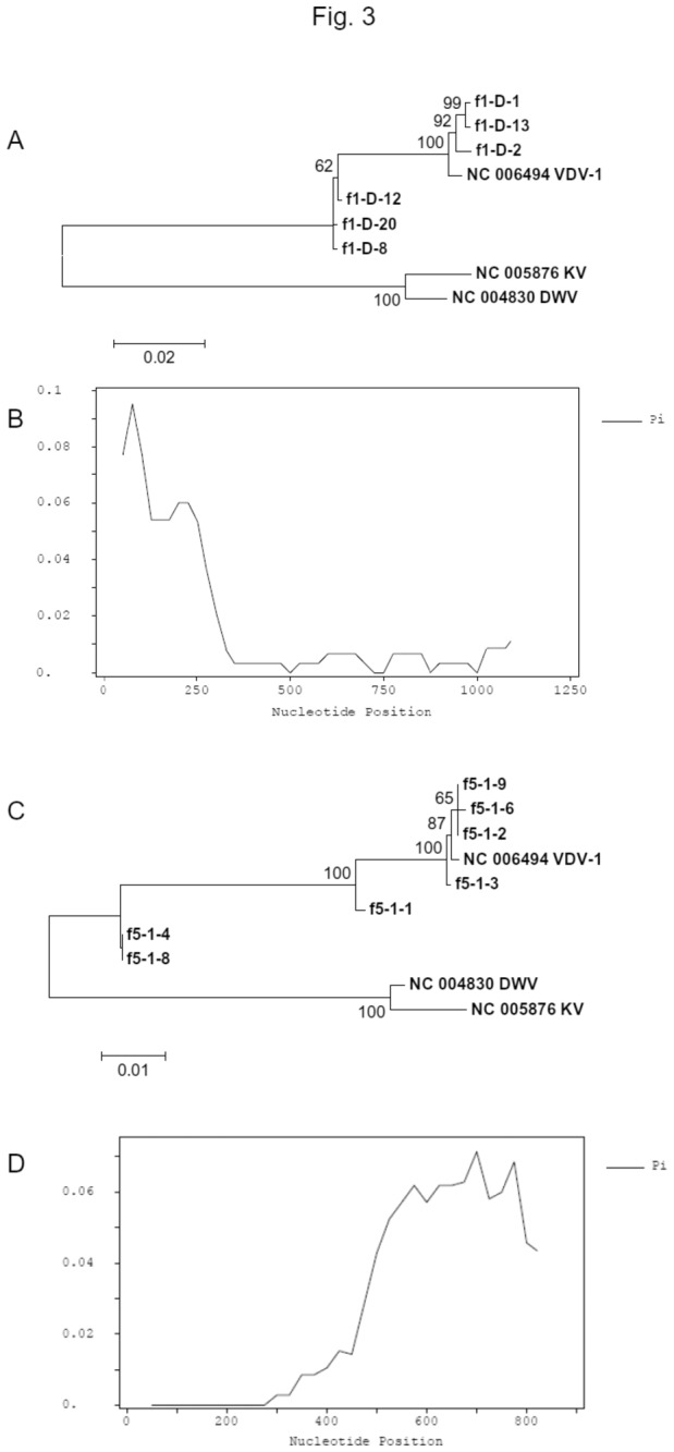 Sanger sequencing validation of chimera virus. (A) Unrooted Neighbour Joint tree of the 5' recombination junction using the sequences of RT-PCR products amplified by primers F1R1. The tree was constructed with 1000 bootstraps and scores higher than 50% were displayed. Reference sequences are labelled with the NCBI accession numbers followed by virus names. The Sanger sequences obtained in this work (NCBI Accession No: KC691296-KC691301) are labelled as F1 followed by in-house sequence IDs. (B) SNP profile of the 5' recombination junction using the Sanger sequences, showing a decrease of polymorphism after the recombination junction. (C) Unrooted Neighbour Joint tree of the 3' recombination junction using the sequences of RT-PCR products amplified by primers F5R5. The tree was constructed with 1000 bootstraps and scores higher than 50% are displayed. Reference sequences are labelled with the NCBI accession numbers followed by virus names. The Sanger sequences obtained in this work (GenBank Accession No: KC691302-KC691308) are labelled as F5 followed by in-house sequence IDs. (D) SNP profile of the 3' recombination junction using the Sanger sequences, showing that nucleotide SNPs increased after the recombination junction.