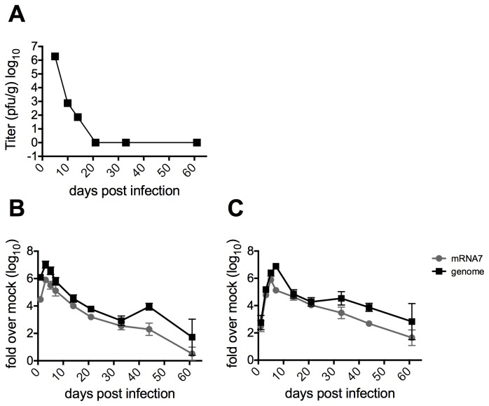 Replication of MHV in mice. Four-week old B6 mice were infected intracranially with 2000 pfu of MHV-A59 and sacrificed at the indicated days post infection. A) Brains were harvested and placed in gelatin saline, homogenized and infectious virus titered on mouse L2 fibroblasts. Titers shown are averages from five mice per group. B) Brains and C) spinal cords were harvested and RNA isolated on Qiagen RNeasy columns. qRT-PCR was performed to quantify relative abundance of MHV-A59 genomic and subgenomic RNA mRNA7. Data are plotted as means with SEM of 5-8 mice.