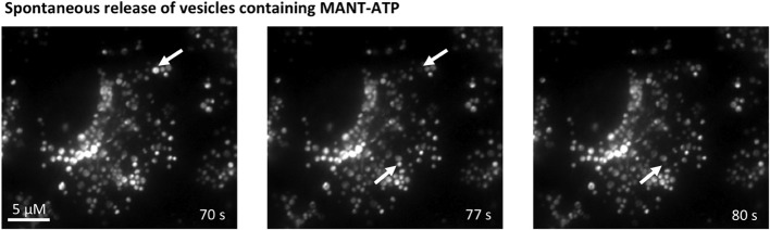 Spontaneous vesicular fusion in MDCK cells . Total internal reflection fluorescence (TIRF) microscopy of MDCK cells loaded with MANT-ATP (25 μM, 5 h, 37°C). Arrows indicate vesicles that abruptly disappeared from the evanescence field.
