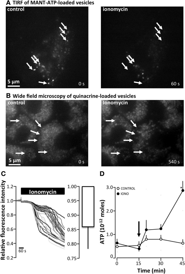 The effect of ionomycin on <t>ATP</t> release and vesicular fusion in MDCK cells (A) total internal reflection fluorescence (TIRF) microscopy of MDCK cells loaded with <t>MANT-ATP</t> (25 μM, 5 h, 37°C) showing vesicular fusion after the addition of ionomycin (1 μM) . Arrows indicate vesicles that abruptly disappeared from the evanescence field. (B) Ionomycin (1 μM)-induced vesicular fusion as indicated by wide-field fluorescence microscopy of MDCK cells loaded with quinacrine (5 μM, 30 min, 37°C). Arrows indicate vesicles that display an abruptly drop in fluorescence. (C) Right: Original trace of the effect of ionomycin (1 μM, 37°C) on the relative fluorescence intensity of quinacrine-loaded MDCK cells. The left panel present the mean ± s.e.m. from 6 experiments. (D) ATP release from MDCK cells induced by apical application of ionomycin (IONO, 1 μM). The arrow indicates the addition of ionomycin or the control solution; the mean ± s.e.m. values are presented ( n = 10). The asterisk indicates statistical significance.