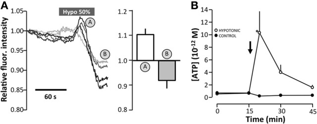 The effect of hyposmotic stress on vesicular fusion of quinacrine-loaded vesicles by TIRF microscopy of MDCK cells . (A) Original traces of the total fluorescence intensity of 5 cells as determined by TIRF microscopy. The mean ± s.e.m. values are shown on the right as n = 17. (B) Effect of apically-induced hypotonic stress (50%) on the level of extracellular ATP. Data are presented as the mean ± s.e.m. ( n = 10). The asterisk indicates statistical significance.