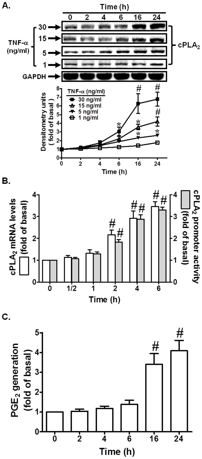 TNF-α induces cPLA 2 protein and mRNA expression. Cells were incubated with TNF-α for the indicated time intervals. (A) The protein levels of cPLA 2 were determined by Western blot, (B) the mRNA levels of cPLA 2 were determined by real-time PCR, and the promoter activity of cPLA 2 was determined in the cell lysates. (C) Cells were incubated with TNF-α (30 ng/ml) for the indicated time intervals. The media were collected and analyzed for PGE 2 release. Data are expressed as mean±S.E.M. of three independent experiments. * P