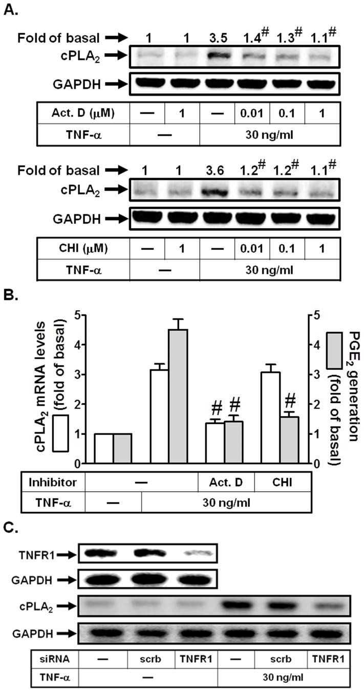 TNF-α induces cPLA 2 expression via TNFR1 in HPAEpiCs. (A) Cells were pretreated with Act. D or CHI for 1 h, and then incubated with TNF-α for 24 h. The protein levels of cPLA 2 were determined by Western blot. (B) Cells were pretreated with Act. D (1 µM) or CHI (1 µM) for 1 h, and then incubated with TNF-α for 6 h (for cPLA 2 mRNA levels) or 24 h (for PGE 2 release). cPLA 2 mRNA levels were determined by real-time PCR. The media were collected and analyzed for PGE 2 release. (C) Cells were transfected with scrambled or TNFR1 siRNA, and then incubated with TNF-α for 24 h. The protein expression of TNFR1 and cPLA 2 were determined. Data are expressed as mean±S.E.M. of three independent experiments. # P