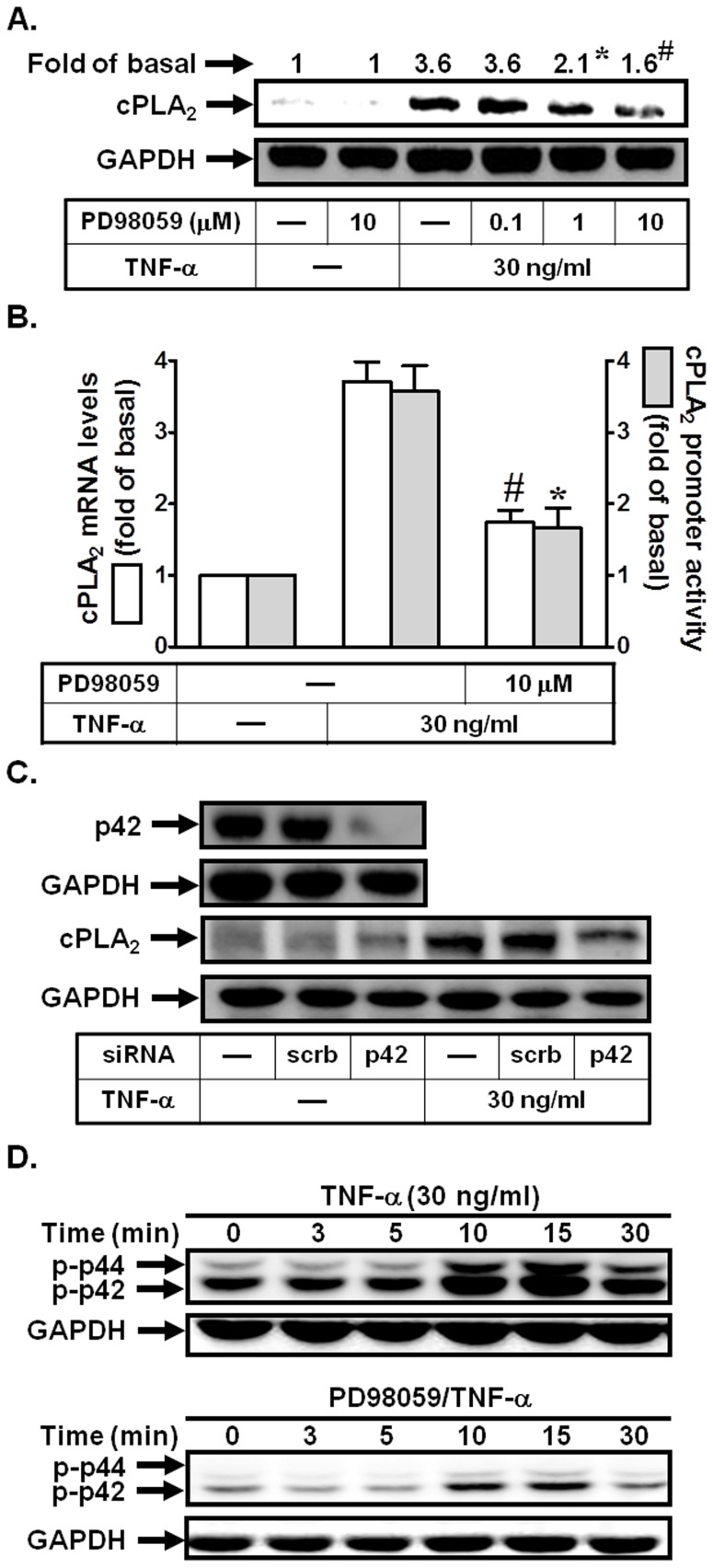 p42/p44 MAPK is involved in TNF-α-induced cPLA 2 expression. (A) Cells were pretreated with PD98059 for 1 h, and then incubated with TNF-α for 24 h. The protein levels of cPLA 2 were determined by Western blot. (B) Cells were pretreated with PD98059 (10 µM) for 1 h, and then incubated with TNF-α for 6 h. cPLA 2 mRNA levels and promoter activity were determined. (C) Cells were transfected with scrambled or p42 siRNA, and then incubated with TNF-α for 24 h. The protein levels of p42 and cPLA 2 were determined. (D) Cells were pretreated with or without PD98059 (10 µM) for 1 h, and then incubated with TNF-α for the indicated time intervals. The levels of phospho-p42/p44 MAPK were determined. Data are expressed as mean±S.E.M. of three independent experiments. * P