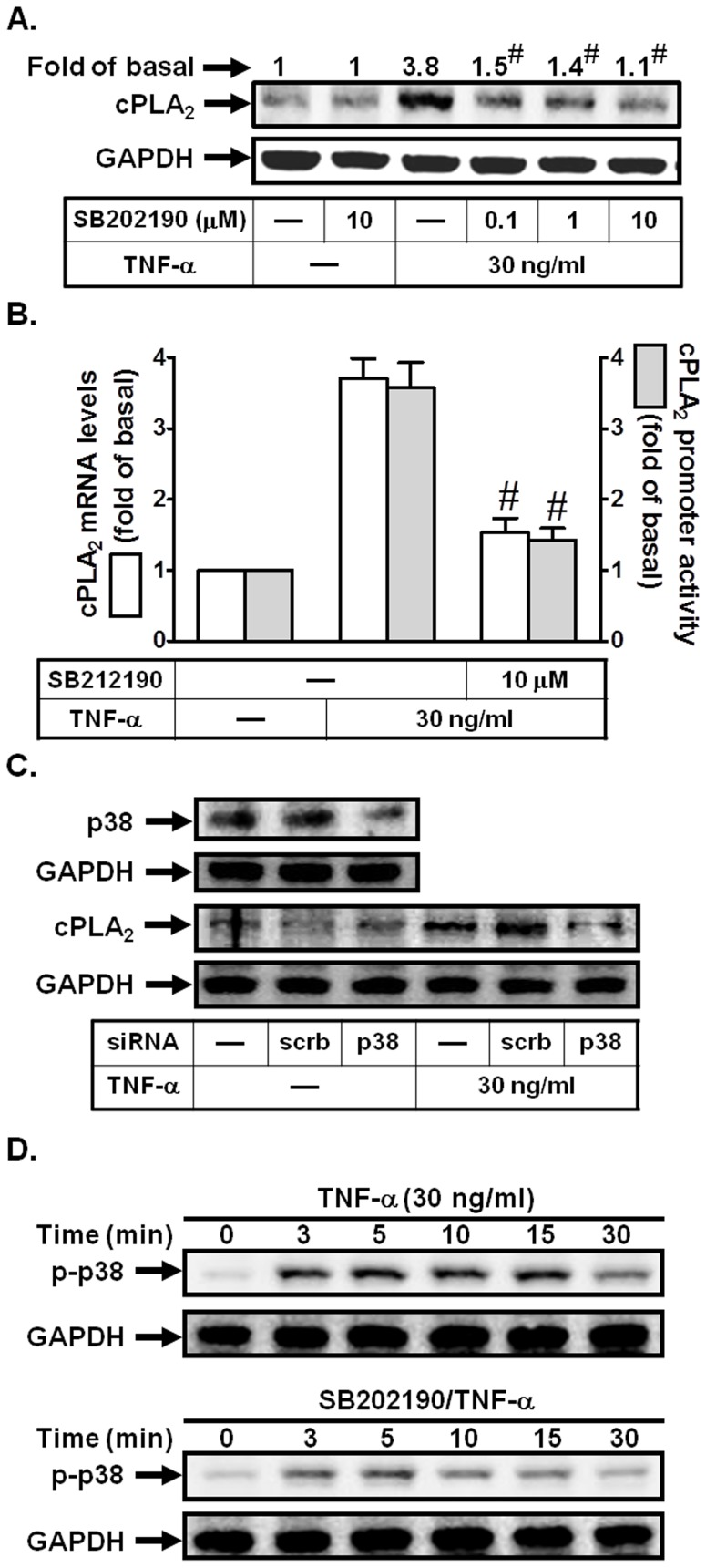 p38 MAPK is involved in TNF-α-induced cPLA 2 expression. (A) Cells were pretreated with SB202190 for 1 h, and then incubated with TNF-α for 24 h. The protein levels of cPLA 2 were determined by Western blot. (B) Cells were pretreated with SB202190 (10 µM) for 1 h, and then incubated with TNF-α for 6 h. cPLA 2 mRNA levels and promoter activity were determined. (C) Cells were transfected with scrambled or p38 siRNA, and then incubated with TNF-α for 24 h. The protein levels of p38 and cPLA 2 were determined. (D) Cells were pretreated with or without SB202190 (10 µM) for 1 h, and then incubated with TNF-α for the indicated time intervals. The levels of phospho-p38 MAPK were determined. Data are expressed as mean±S.E.M. of three independent experiments. # P