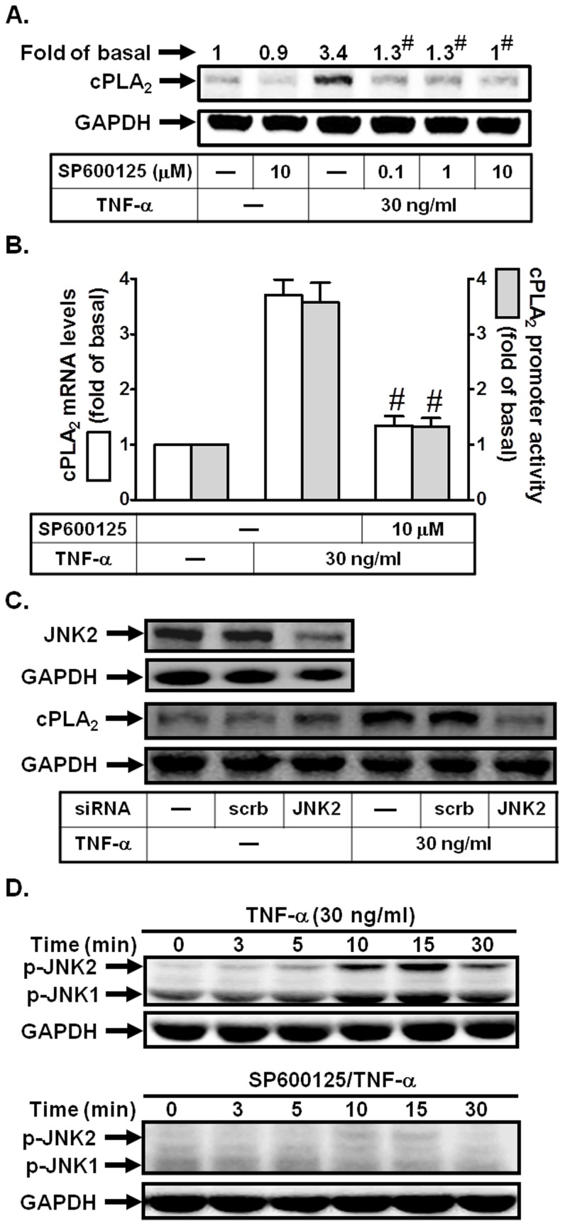 JNK1/2 is involved in TNF-α-induced cPLA 2 expression. (A) Cells were pretreated with SP600125 for 1 h, and then incubated with TNF-α for 24 h. The protein levels of cPLA 2 were determined by Western blot. (B) Cells were pretreated with SP600125 (10 µM) for 1 h, and then incubated with TNF-α for 6 h. cPLA 2 mRNA levels and promoter activity were determined. (C) Cells were transfected with scrambled or JNK2 siRNA, and then incubated with TNF-α for 24 h. The protein levels of JNK2 and cPLA 2 were determined. (D) Cells were pretreated with or without SP600125 (10 µM) for 1 h, and then incubated with TNF-α for the indicated time intervals. The levels of phospho-JNK1/2 were determined. Data are expressed as mean±S.E.M. of three independent experiments. # P