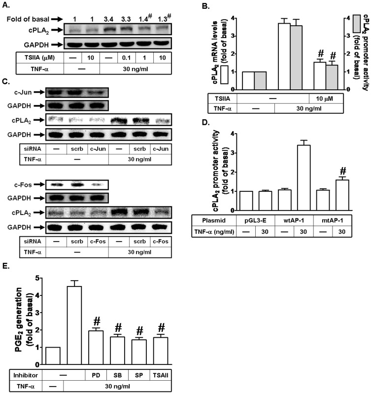AP-1 is involved in TNF-α-induced cPLA 2 expression. (A) Cells were pretreated with Tanshinone IIA (TSIIA) for 1 h, and then incubated with TNF-α for 24 h. The protein levels of cPLA 2 were determined by Western blot. (B) Cells were pretreated with Tanshinone IIA (TSIIA), and then incubated with TNF-α for 6 h. cPLA 2 mRNA levels and promoter activity were determined. (C) Cells were transfected with scrambled, c-Jun, or c-Fos siRNA, and then incubated with TNF-α for 24 h. The protein levels of c-Jun, c-Fos, and cPLA 2 were determined. (D) Cells were transfected with pGL3-empty, wild-type cPLA 2 promoter, or AP-1-mutated cPLA 2 promoter, and then incubated with TNF-α for 6 h. The promoter activity of cPLA 2 was determined in the cell lysates. (E) Cells were pretreated with PD98059 (10 µM), SB202190 (10 µM), SP600125 (10 µM), or Tanshinone IIA (TSIIA; 10 µM) for 1 h, and then incubated with TNF-α for 24 h. The media were collected and analyzed for PGE 2 release. Data are expressed as mean±S.E.M. of three independent experiments. # P