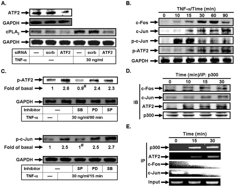 TNF-α stimulates p300/ATF2/c-Jun/c-Fos complex formation. (A) Cells were transfected with scrambled or ATF2 siRNA, and then incubated with TNF-α for 24 h. The protein levels of ATF2 and cPLA 2 were determined. (B) Cells were incubated with TNF-α for the indicated time intervals. The levels of c-Fos, c-Jun, phospho-c-Jun, and phospho-ATF2 were determined. (C) Cells were pretreated with PD98059, SB202190, or SP600125, and then incubated with TNF-α for 90 min or 15 min. The levels of phospho-ATF2 and phospho-c-Jun were determined. (D) Cells were incubated with TNF-α for the indicated time intervals. The cell lysates were subjected to immunoprecipitation using an anti-p300 antibody, and then the immunoprecipitates were analyzed by Western blot using an anti-c-Fos, anti-c-Jun, anti-ATF2, or anti-p300 antibody. (E) Cells were treated with TNF-α for the indicated time intervals, and then ChIP assay was performed. Chromatin was immunoprecipitated using an anti-p300, anti-ATF2, anti-c-Fos, or anti-c-Jun antibody. One percent of the precipitated chromatin was assayed to verify equal loading (Input). Data are expressed as mean±S.E.M. of three independent experiments. # P