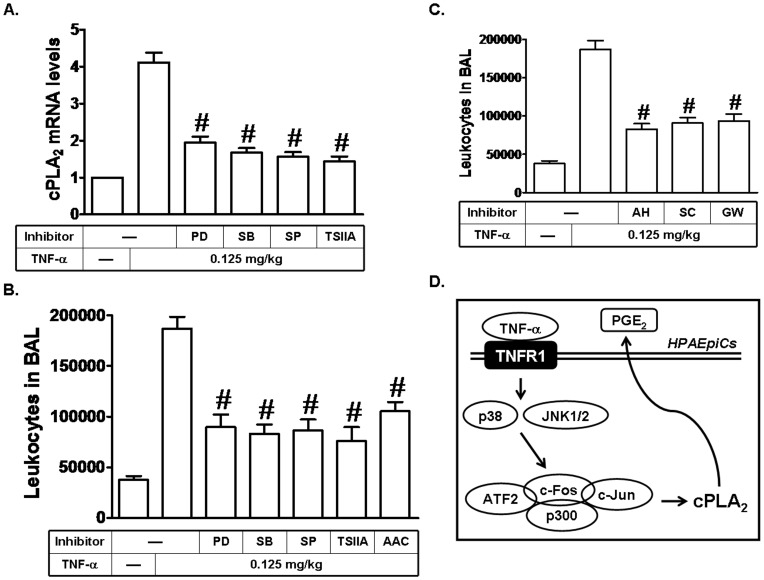 TNF-α induces leukocyte accumulation in BAL and cPLA 2 mRNA expression in mice via MAPKs and AP-1. (A) Mice were i.p. given one dose of PD98059, SB202190, SP600125, or Tanshinone IIA (2 mg/kg) for 1 h before TNF-α treatment, and sacrificed after 24 h. Lung tissues were homogenized to extract mRNA. The levels of cPLA 2 mRNA were determined by real-time PCR. (B, C) Mice were i.p. given one dose of PD98059, SB202190, SP600125, Tanshinone IIA, AACOCF 3 , AH 6809, SC-19220, or GW627368X (2 mg/kg) for 1 h before TNF-α treatment, and sacrificed after 24 h. BAL fluid was acquired and leukocyte count was determined by a hemocytometer. (D) Schematic representation of the signaling pathways involved in the TNF-α-induced cPLA 2 expression in HPAEpiCs. TNF-α-induced cPLA 2 expression and PGE 2 release are mediated through p38 MAPK- and JNK1/2-dependent p300/c-Fos/c-Jun/ATF2 complex formation in HPAEpiCs.