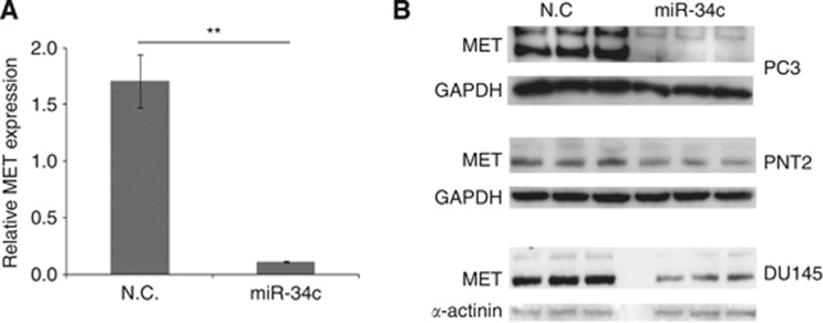 ( A ) MET transcript levels, as measured by qRT–PCR, after ectopic expression of miR-34c mimic in PC3. Mean of quadruplicate is shown. HPRT and PGK1 were used as endogenous controls. ( B ) Western blot on the protein levels of MET after ectopically expressing miR-34c in PC3, PNT2, and DU145 cells. Both the 170 kDa precursor and the 140 kDa mature form of Met are detected. GAPDH and α -actinin were used as loading controls.