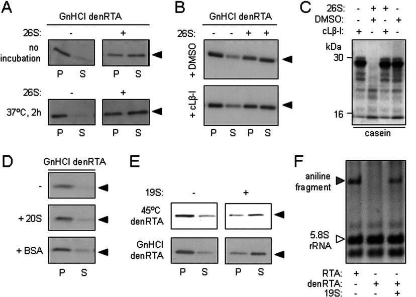26S proteasomes and 19S proteasome caps are chaperones for denatured RTA ( A ) 26S proteasomes maintain the solubility of denatured RTA. Top panels: GdnHCl-denatured RTA (40 nM) was diluted in the absence (−) or presence (+) of 26S proteasomes (25 nM, equivalent to 40 nM 19S RP) and, after centrifugation, aggregated (P) and soluble (S) fractions were examined by anti-RTA immunoblot after SDS/PAGE. Bottom panels: samples were treated in the same way as above, but were incubated at 37°C for 2 h before SDS/PAGE. ( B ) The solubilizing activity of the 26S proteasome is independent of its proteolytic activity. GdnHCl-denatured RTA (40 nM) was diluted in the absence (−) or presence (+) of 40 nM 26S proteasomes pretreated with the vehicle DMSO (top panel) or the proteasome inhibitor cLβ-l (bottom panel), and aggregated (P) and soluble (S) fractions were examined by anti-RTA immunoblot after SDS/PAGE. ( C ) Efficacy of cLβ-l was confirmed in vitro by its ability to block degradation of casein (arrowhead) in the presence of mammalian 26S proteasomes. Casein (40 nM) was incubated in the presence (+) or absence (−) of 26S proteasomes that had been pretreated with vehicle DMSO or cLβ-l. ( D ) 20S proteasome cores do not maintain the solubility of denatured RTA. GdnHCl-denatured RTA (40 nM) was diluted in the absence (−) or presence of 40 nM 20S proteasomes (+ 20S) or 40 nM BSA (+ BSA) and, after centrifugation, aggregated (P) and soluble (S) fractions were examined by anti-RTA immunoblot after SDS/PAGE. ( E ) 19S proteasome RP maintain the solubility of denatured RTA. Heat (45°C)-denatured and GdnHCl-denatured RTA (40 nM) were diluted in the absence (−) or presence (+) of 40 nM 19S RP and, after centrifugation, aggregated (P) and soluble (S) fractions were examined by anti-RTA immunoblot after SDS/PAGE. ( F ) Catalytic activity can be recovered from proteasome-solubilized RTA. Native RTA (RTA), GdnHCl-denatured RTA (denRTA) and a mixture of denRTA and 19S RP were centrifuged to remove aggregates and the soluble fractions were incubated with 20 μg of yeast ribosomes for 2 h at 30°C. After cleavage of any depurinated 28S rRNA with acetic-aniline, rRNAs were extracted, electrophoresed in denaturing conditions (1.2% agarose/50% formamide), and the gel was stained with ethidium bromide for visualization. Aniline fragment, grey arrowhead; 5.8S rRNA, white arrowhead.