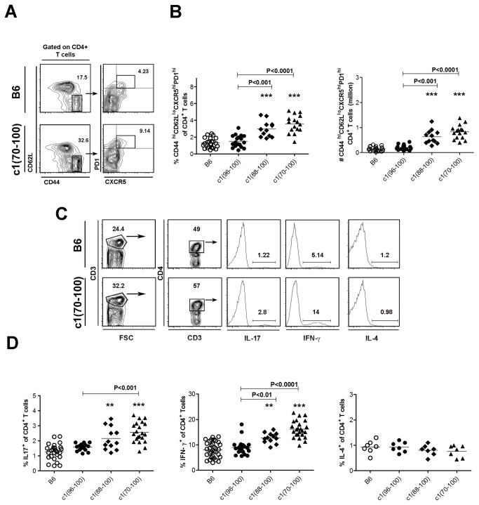 Expansion of Tfh, Th17 and Th1 cell subsets in c1 congenic mice. (A) Splenocytes from 4-mo-old mice were stained to assess the proportion of Tfh (CD4 + CD44 hi CD62L lo CXCR5 hi PD1 hi ) cells. Representative contour plots from B6 and c1(70-100) mice. Thick boxes denote the regions that were used to identify Tfh cells. Cells shown in the right panels were gated on the regions shown in the left panels. (B) Scatter plots showing the proportion of Tfh cells within the CD4 + T cell subset and absolute number of splenic Tfh cells. (C) Representative contour plots and histograms from flow cytometry analysis of IL-17-, IFN-γ-, and IL-4-expressing CD4 + T cells in B6 and c1(70-100) mice. Splenocytes were stimulated with PMA and ionomycin in the presence of GolgiStop for 4 h, and then fixed, stained with anti-CD3 and -CD4, permeabilized, and stained with anti-cytokine Ab. Thick lines outline the regions used to gate CD4 + CD3 + T cells. For histograms, the percentage of cells staining positively for each cytokine is indicated. (D) Scatterplots showing the percentages of cytokine-producing cells as a proportion of the CD4 + T cell population. Horizontal lines indicate the mean of each group examined. Significance levels were determined by one-way ANOVA with Dunns' post-test. The p values for significant differences between B6 and congenic mouse strains are shown with **p