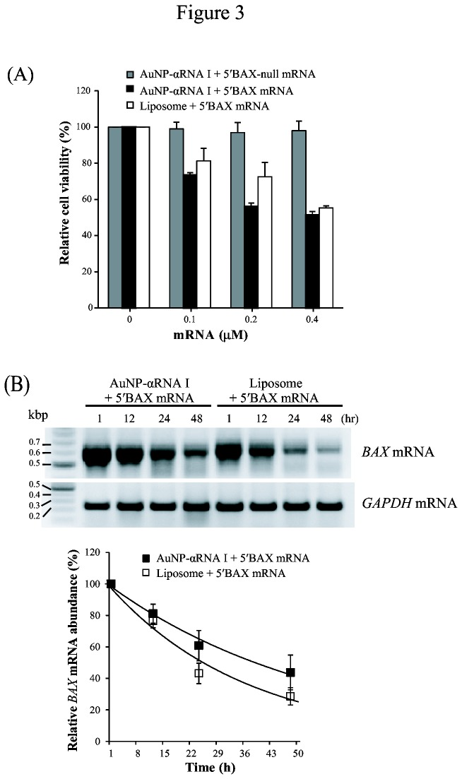 Influence of BAX mRNA delivery via AuNP-DNA conjugate or liposome on cell viability and mRNA half-life. (A) Relative viability of 5′BAX mRNA-transfected cells. HeLa cells were incubated with AuNP-αRNA I-5'BAX-null mRNA (Bax-null mRNA), AuNP-αRNA I-5'BAX mRNA, or liposome for 24 h. (B) RT-PCR analysis of 5′BAX mRNA to measure mRNA half-life. Amplification of cDNA from 5′BAX mRNA was achieved using a PCR primer (RNA I-AUG), designed specifically to bind to the 5' UTR of 5′BAX mRNA, which is complementary to the cargo DNA of the AuNP-DNA. Equal loading was ensured using an internal control (GAPDH). The values were normalized against control cell values and are shown as the mean ± SEM (standard error of mean). Experiments were performed in triplicate and repeated at least three times.