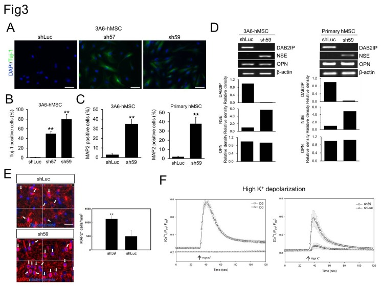 Effect of DAB2IP expression on neuronal differentiation of hMSCs. A. Immunofluorescence staining of Tuj-1 expression (green) in 3A6-hMSCs infected with lentivirus-containing shRNAs against luciferase (shLuc) or DAB2IP (sh57 and sh59). B. Quantification of data presented in A as a percentage of Tuj-1-positive cells relative to the total number of cells. Bars represent mean ± SEM (** p