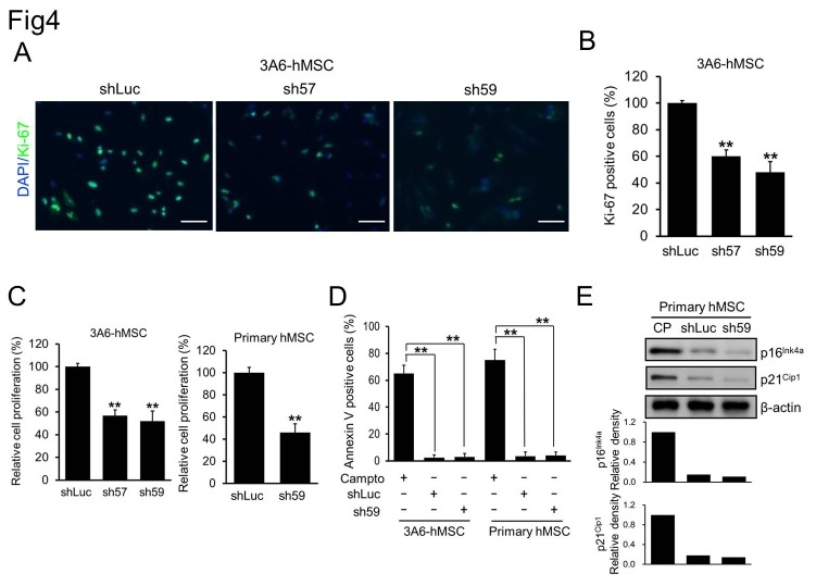 Correlation between the reduction of DAB2IP expression and hMSC proliferation. A. Immunofluorescence staining of Ki-67 (green) in shRNA-transfected 3A6-hMSCs. B. Quantification of Ki-67-positive shRNA-transfected 3A6-hMSCs. Bars represent mean ± SEM (** p