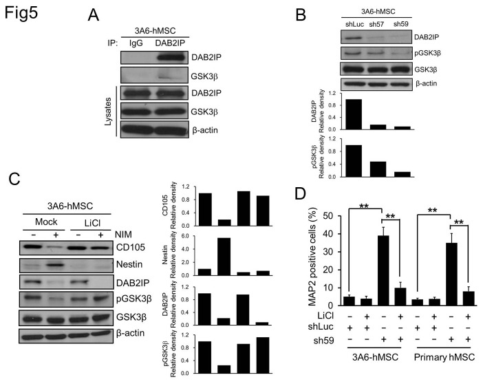 Effect of GSK3β on mesenchymal-to-neuroepithelial transition of hMSCs. A. Western blot analysis of whole-cell lysates from naïve 3A6-hMSCs. IP: immunoprecipitation. B. Western blot analysis of DAB2IP and Ser9 phosphorylated GSK3β (pGSK3β) in sh57 and sh59 DAB2IP-KD 3A6-hMSCs compared with shLuc control cells. The bar graphs (bottom) represent the relative density of DAB2IP, and pGSK3β as determined by scanning densitometric tracings. C. Western blot analysis for the MSC marker CD105 and the neuronal progenitor cell marker Nestin in naïve or LiCl-pretreated 3A6-hMSCs cultured with or without NIM. β-actin served as an internal control. The bar graphs (bottom) represent the relative density of CD105, Nestin, DAB2IP, and pGSK3β as determined by scanning densitometric tracings. D. Flow cytometry of MAP2-positive DAB2IP-KD hMSCs. Bars represent mean ± SEM (** p