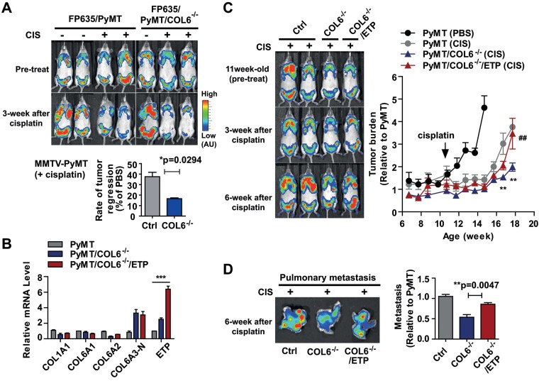 The absence of COL6 in PyMT mice sensitizes tumours to cisplatin treatment A. Eleven week old FP635/PyMT and FP635/PyMT/COL6 −/− mice were given cisplatin (1 mg/kg, ip., 2 times/week) or PBS over the course of tumour progression. Tumour burden at a whole body level was monitored with a fluorescence scanner (IVIS) once a week. Representative images and quantification showing increased cisplatin sensitivity in PyMT/COL6 −/− mice. Tumour burden at the end point was determined and represented as mean ± SD ( n = 5/group). * p = 0.0294 versus FP635/PyMT/CIS by Mann–Whitney t -test. B. Total RNA was prepared from the tumour tissues from PyMT, PyMT/COL6 −/− and PyMT/COL6 −/− /ETP mice. mRNA levels for the COL1A1, COL6A1, -A2, -A3-N (amino-terminus of COL6A3) and ETP were determined by qRT-PCR. Values were normalized with 36B4 and represented as mean ± SD ( n = 4/group). Relative values of each gene are represented as fold increase over PyMT. *** p