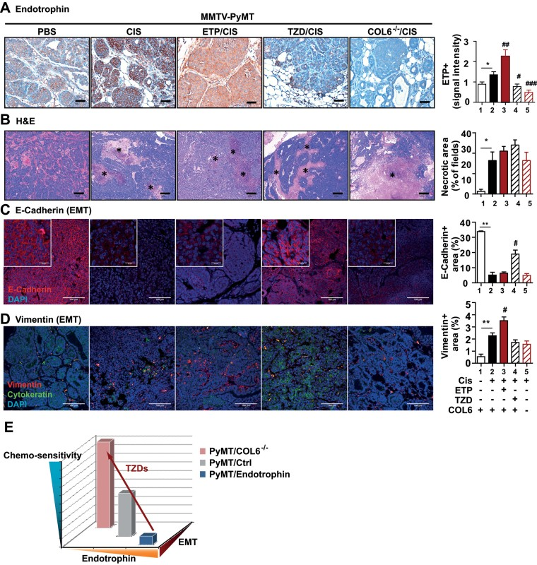 Histological analysis of tumours in PyMT mice with different levels of endotrophin after chemotherapy Endotrophin staining and quantification, showing increased endotrophin levels upon cisplatin treatment which was further augmented in PyMT/endotrophin mice, whereas it was barely detectable in PyMT/TZD and PyMT/COL6 −/− mice. ** p = 0.0174, ## p = 0.009, # p = 0.024 and ### p = 0.0004. H E staining and necrotic lesion area quantification on tumours, showing increased cell death after cisplatin treatment in all groups, and further augmented sensitivity in PyMT/TZD. * p = 0.0463. E-cadherin staining and quantification, showing decreased membrane integrity of epithelial cancer cells after cisplatin treatment in PyMT mice. TZD reverses cisplatin-induced loss of E-cadherin levels. ** p = 0.0045 and # p = 0.0285. Vimentin staining and quantification, showing increased EMT in PyMT/endotrophin mice, whereas it was decreased in PyMT/TZD and PyMT/COL6 −/− mice. ** p = 0.0085 and # p = 0.0111. Quantified results represent mean ± SD (multiple images from n = 5–6/group). Statistics (*PBS vs. CIS; # CIS vs. ETP/CIS, TZD/CIS, or COL6 −/− /CIS) were analysed by unpaired Student's t -test. Scales: 50 µm (A), 200 µm (B) and 100 µm (C–D). Hypothetical modeling of cisplatin responsiveness in PyMT mice relying on the endotrophin levels and EMT status. Arrow indicates TZD augments chemo-sensitivity through suppression of endotrophin levels and EMT.